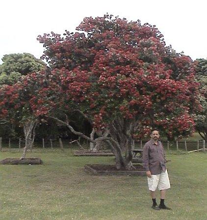 Philip under the Pohutukawa tree