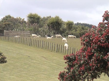Pohutukawa and sheep