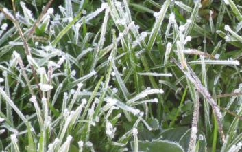 frostgrass